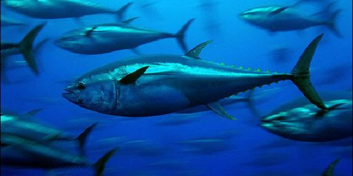 Blue Fin Tuna, Genetically Altered Salmon and Environmental Progress