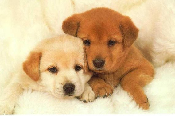 dogs-puppies-for-sale-1