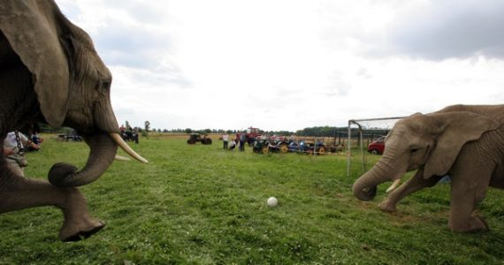 Two elephants play soccer at the Elephant Ranch in the village of Platschow in northern Germany.