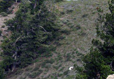 Utah Goat Man Risks Hunters to Enjoy Wildlife
