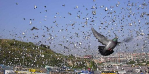 Doping Scandal Hits The Sport Of...... Pigeon Racing??