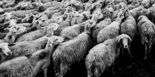 black and white, animal, herd, sheep, mammal, monochrome, wool, fauna, vertebrate, sheeps, mass, monochrome photography, cattle like mammal