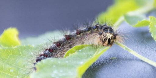 Gypsy Moths No More